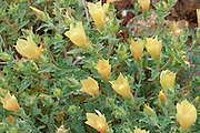 Sand Blazing Star (Mentzelia involucrata) in the Cottonwood Mountains, Joshua Tree National Park, California