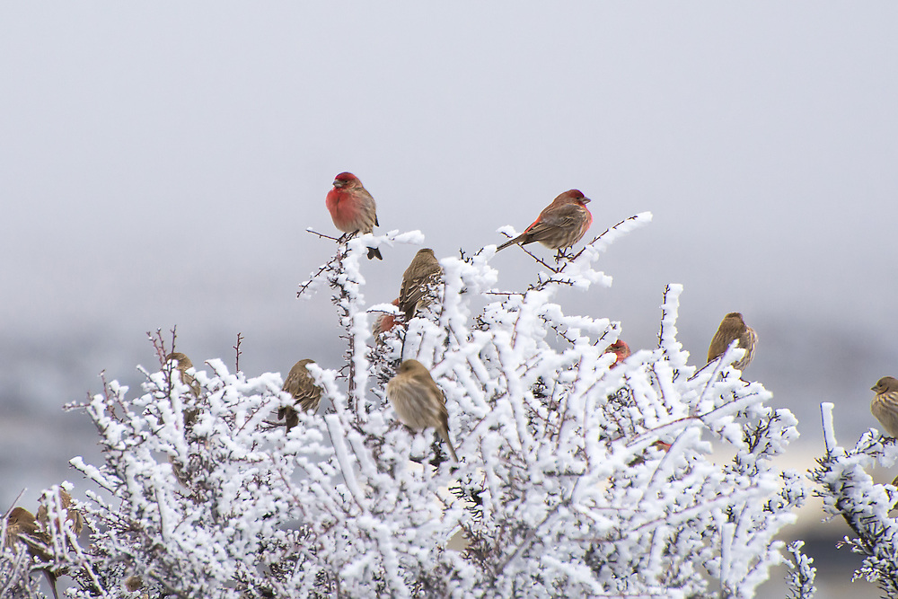 A group of house finches perches in a frozen bitterbrush bush in Central Washington on a bitterly cold winter morning. The males' bright red breast and eyebrow plumage stand out in wonderful contrast against the white sky.