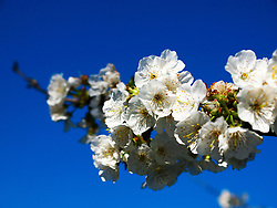 27.03.2016, Makarska, CRO, Frühlingserwachen, im Bild Kirschblüten in der Blüte // cherry trees in bloom at Makarska, Croatia on 2016/03/27. EXPA Pictures © 2016, PhotoCredit: EXPA/ Pixsell/ Toni Katic/HaloPix<br /> <br /> *****ATTENTION - for AUT, SLO, SUI, SWE, ITA, FRA only*****