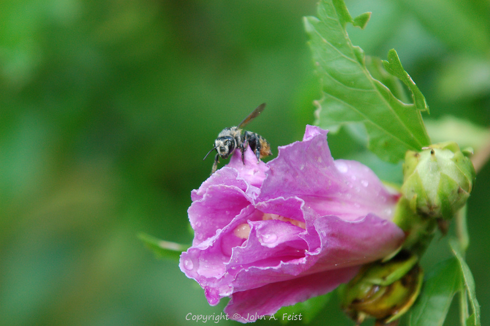 This bee has an almost human face.  It was making its way to the opening in the flower.  D and R Canal, Lambertville, NJ