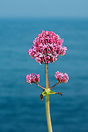 RED VALERIAN Centranthus ruber (Valerianaceae) Height to 75cm. Upright, branched, hairless and greyish green perennial. Grows on broken, rocky ground, chalk cliffs and old walls. FLOWERS are 8-10mm long, the corolla reddish or pink (sometimes white); borne in dense terminal heads (May-Sep). FRUITS have a feathery pappus. LEAVES are ovate, untoothed and borne in opposite pairs. STATUS-Introduced and widely naturalised but most frequent in coastal districts.