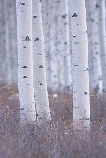 Botony, Birch tree. Manitoba. Canada.