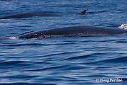 Bryde's whales, Balaenoptera brydei or Balaenoptera edeni, surface off Cabo San Lucas, Baja California, Mexico ( Eastern Pacific Ocean )