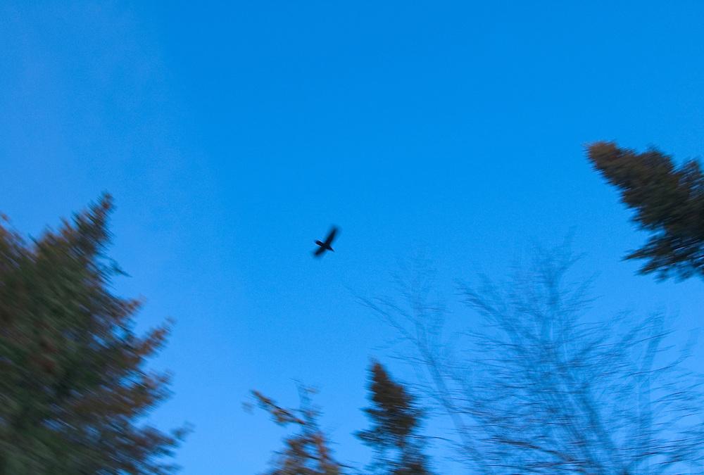 A crow blurs by as it flies overhead on the Keweenaw Peninsula near Copper Harbor, Michigan.