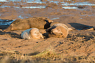 Seal pup and mum together in the sand during the golden light of an early winter morning (Donna Nook)