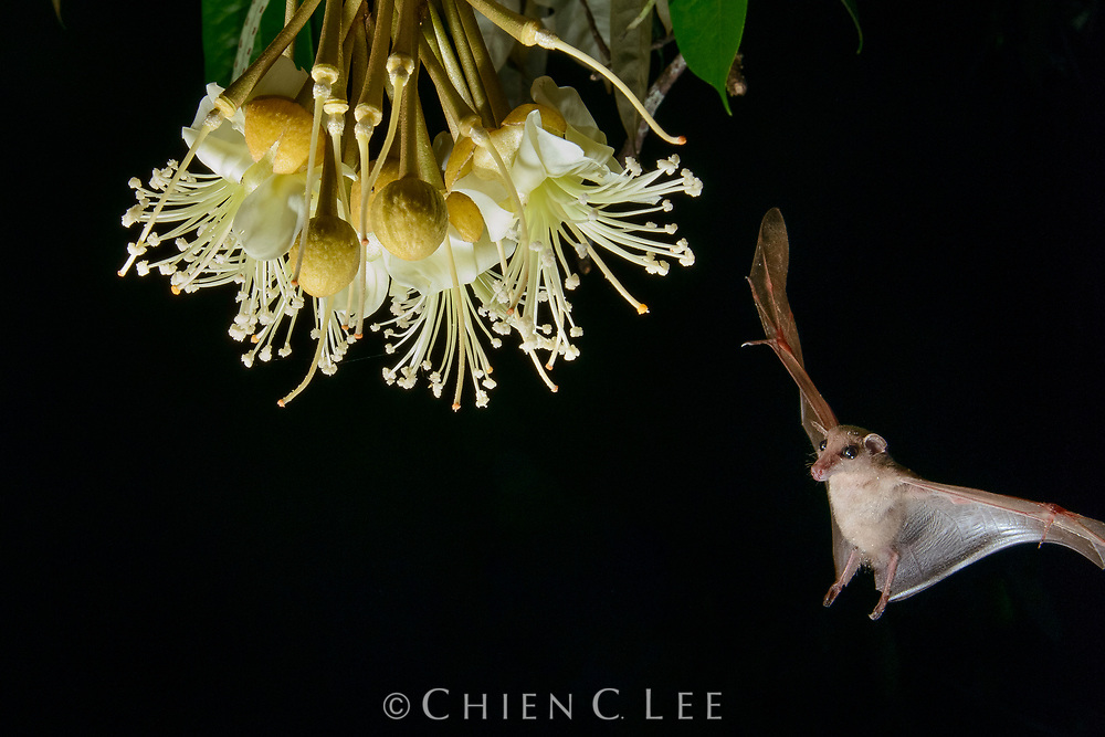 Nectar-feeding bats play an essential role in the pollination of many rainforest trees. Here, a Long-tongued Nectar Bat (Macroglossus minimus) arrives at the night-blooming blossoms of a durian tree (Durio zibethinus). Prized for its delectable aromatic fruit, the productivity of many durian plantations is under threat where the native bat populations have been killed off by hunters. Sabah, Malaysia (Borneo).