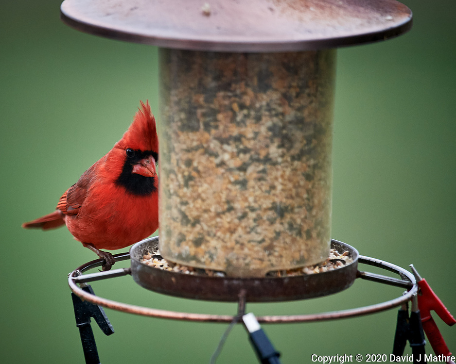 Male Northern Cardinal. Image taken with a Nikon D5 camera and 600 mm f/4 VR lens (ISO 1600, 600 mm, f/4, 1/500 sec).