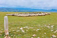 Mongolie, Province de Arkhangai, troupeau de mouton près d'une stèle à cerf datant de l'age de bronze // Mongolia, Arkhangai province, a sheep herd near a Deer stone of Bronze age