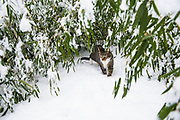 Housecat playing in the winter snow