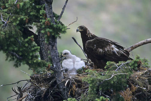 Golden Eagle, (Aquila chrysaetos) Adult with chicks. Southwest, Montana.