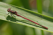 A large red male damselfly resting on some grass next to the RIver Otter in Devon. The claspers used to grasp the female during mating is clearly visible, as are the secondary genitalia.
