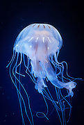 An atlantic sea nettle (Chrysaora quinquecirrha) jellyfish Photographed in captivity near the Oregon Coast,