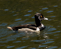 Ring-necked Duck (Aythya collaris). Lily Lake. Rocky Mountain National Park, Colorado. Image taken with a Nikon D2xs camera and 80-400 mm VR lens.