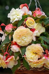 Begonia 'Odorata White Blush'