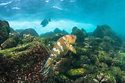 Blue-chin Parrotfish (Scarus ghobban)<br /> Santa Fe Island<br /> Galapagos<br /> Pacific Ocean<br /> Ecuador, South America