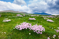 Sea Pink flowers at Barnabaun Point, County, Mayo, Ireland
