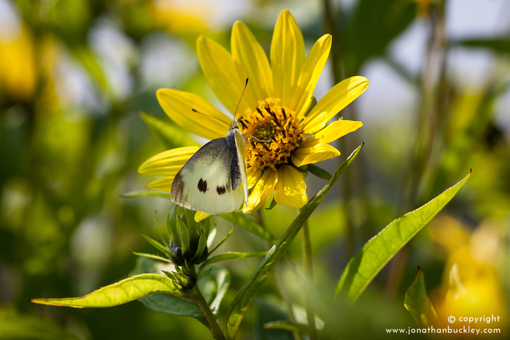 Butterfly 'Large White' also know as 'Cabbage White' on Helianthus 'Lemon Queen'