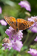A macro shot of a Great Spangled Fritilary Butterfly (Speyeria cybele) in a field of wild flowers.