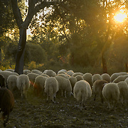 Sheep grazing in a pastura in Portugal's Mirandese plateau.