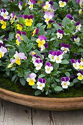 Viola tricolor in a shallow terracotta dish. Heartsease