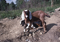 Nubian Goat Kids frolic in Vermont.