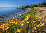 Blooming yellow poppies at Cattle Point on San Juan Island in Washington state