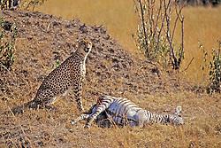 Cheetah Nest To Kill (Zebra)