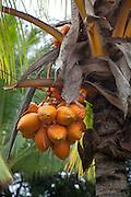 Coconut palm, Senator Fong's Plantation Garden