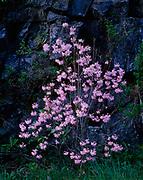 Spring bloom of Pink Azalea, Rhododendron nudiflorum, along the Blue Ridge Parkway, North Carolina.