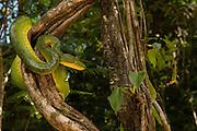 Emerald Tree Boa (Corallus caninus)<br /> Rain Forest<br /> Iwokrama Reserve<br /> GUYANA<br /> South America