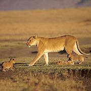 African Lion, (Panthera leo) Lioness and cubs. Serengeti Plains. Masai Mara Game Reserve. Kenya. Africa.