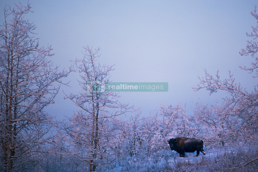 July 21, 2019 - Buffalo In Snowy Woods (Credit Image: © Richard Wear/Design Pics via ZUMA Wire)