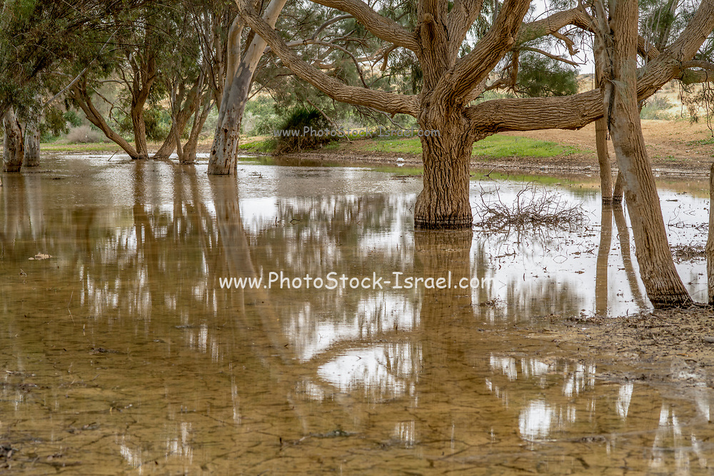 Winter Swamp, (Vernal pool) this area floods during the winter rainy season and dries up during the dry summer period. trees were planted in the swamp area to absorb the excess water.  Photographed in Negev Desert, Israel in February