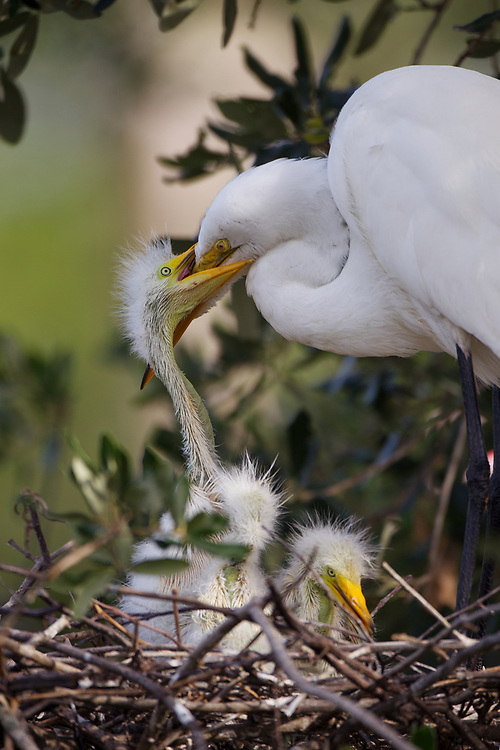 Stock photo of great egret chicks captured in Florida.  Agression among chicks is common.  Larger chicks often kill their smaller siblings.
