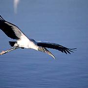 Wood Stork, (Mycteria americana) ENDANGERD SPECIES. Florida. In flight.