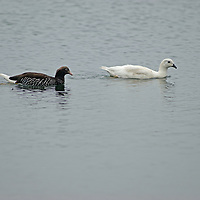 Kelp Geese swim near West Point Island in Britain's Falkland Islands. (The male is all white)