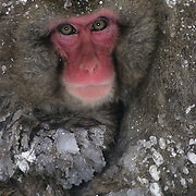 Snow Monkey or Japanese Red-faced Macaque (Macaca fuscata) baby. Japan