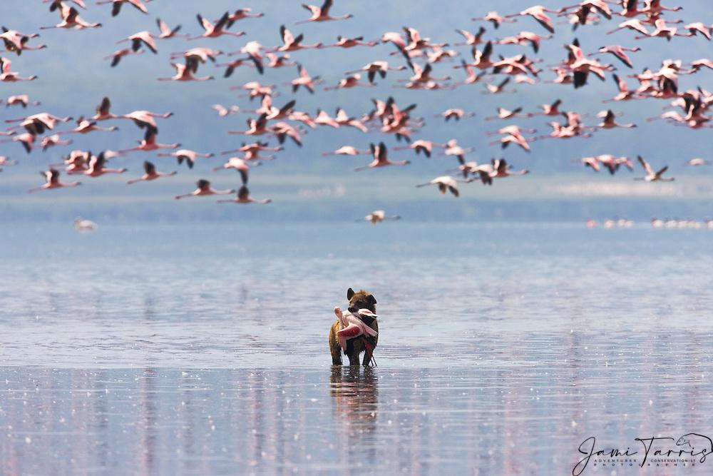 A spotted hyena (Crocuta crocuta ) walking through the shallow water of Lake Nakuru with a flamingo in its mouth, Lake Nakuru, Kenya,Africa