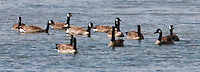 A gaggle of Canada Geese (Branta canadensis) float on the Hood Canal of Puget Sound at Big Beef Creek, Seabeck, Kitsap County, WA, USA
