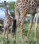 A  young Maasai giraffe  calf (Giraffa tippelskirchi, Giraffa camelopardalis tippelskirchii) stands beside its mother in the pouring rain. Serengeti National Park, Tanzania.
