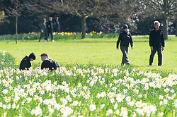 ©Licensed to London News Pictures 22/03/2020<br /> Greenwich, UK. Daffodils in Greenwich park, Greenwich, London today as people get out and about to enjoy the sunny spring weather despite being asked by the Prime Minister to socially distance themselves due to the Coronavirus outbreak. Photo credit: Grant Falvey/LNP