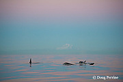 transient orcas or killer whales, Orcinus orca, at sunset, with snow-capped Mt. Baker in the background, Strait of George, east of Vancouver Island, British Columbia, Canada, and north of San Juan Islands, Washington, USA