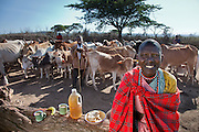 Noolkisaruni Tarakuai, the third of four wives of a Maasai chief with her day's worth of food outside her house in a Maasai village compound near Narok, Kenya. (From the book What I Eat: Around the World in 80 Diets.) The caloric value of her typical day's worth of food on a day in the month of January was 800 kcals. She is 38 years of  age: 5 feet, 5 inches tall; and 103 pounds. Noolkisaruni has her own house for sleeping and a windowless cooking house with earth and dung chinked into the walls. Maasai wealth is derived from the cattle owned, the land, and the number of children born to support the family business: cattle and goats. She is photographed here with her day's worth of food: largely maize meal and milk. The fallen tree on which her food rests was knocked down by a marauding wild elephant. MODEL RELEASED.