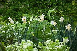 Narcissus 'Sweet Eyes' with Helleborus argutifolius and Dicentra spectabilis 'Alba' (syn.Lamprocapnos spectabilis 'Alba' )