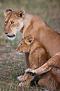 Female lioness with her cub; The African lion ( Leo Panthera ) lives in prides consisting of two to twelve related females and their young, and dominant males. Males may form a coalition of two to six, and hold tenure over the prides until challenged. Large males may exceed 250kg ( 550 lbs) in weight and are the second-largest living cat after the tiger, cubs at play,  Masai Mara, Kenya