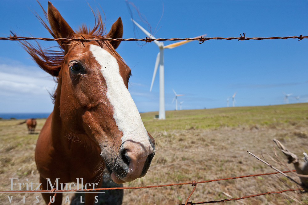 Horse at North Kohala Wind Farm, Big Island, Hawaii
