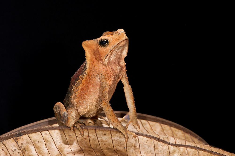 South American Crested Toad (Rhinella sp.)<br /> Yasuni National Park, Amazon Rainforest<br /> ECUADOR. South America<br /> HABITAT & RANGE: Rainforests of Bolivia; Brazil; Colombia; Ecuador; French Guiana; Guyana; Panama; Peru; Suriname and VenezuelaSouth American Crested Toad (Rhinella margaritifer complex)<br /> Yasuni National Park, Amazon Rainforest<br /> ECUADOR. South America<br /> HABITAT & RANGE: Rainforests of Bolivia; Brazil; Colombia; Ecuador; French Guiana; Guyana; Panama; Peru; Suriname and Venezuela