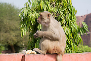 India, Uttar Pradesh, Agra, Agra Fort Rhesus Macaque Monkey