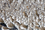 Western Sandpipers crowd together (Calidris mauri) Back Bay Reserve, California