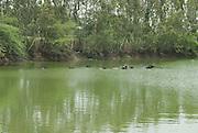 India, Rajasthan Water buffalo in a lake